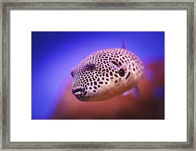Blackspotted Puffer Arothron Framed Print by Reynold Mainse