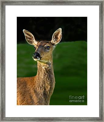 Blacktail Doe Framed Print