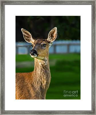 Blacktail Portrait Framed Print