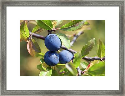 Blackthorn Berries Framed Print by Daniel Sambraus/science Photo Library