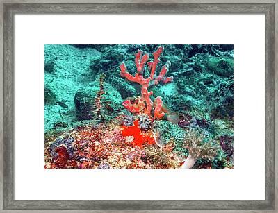 Blacktip Grouper And Sponge Framed Print by Georgette Douwma