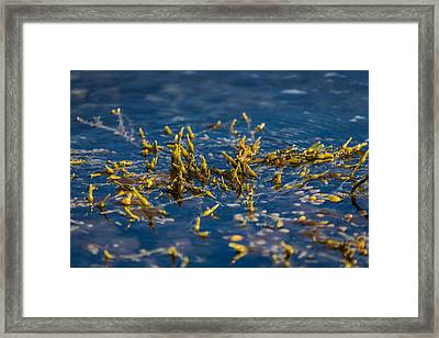 Bladder Seaweed, Fucus Vesiculosus Framed Print by Panoramic Images