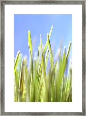 Blades Of Wheatgrass Framed Print by Cordelia Molloy
