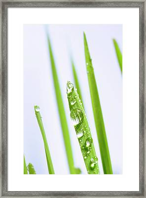 Blades Of Wheatgrass With Water Droplets Framed Print by Cordelia Molloy