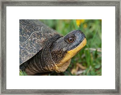 Blanding's Turtle Framed Print