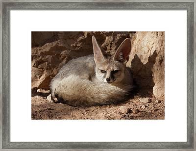 Blanford's Fox (vulpes Cana) Framed Print by Photostock-israel