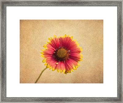 Blanket Flower Framed Print by Kim Hojnacki