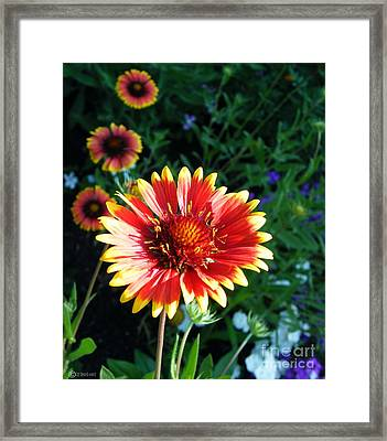 Blanket Flower Framed Print by Lizi Beard-Ward
