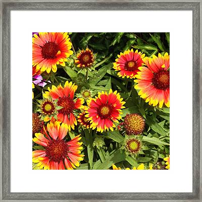 Blanket Flower Framed Print