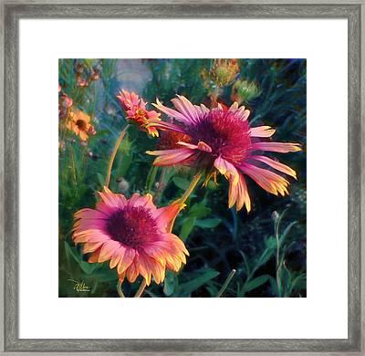 Blanket Flowers At Sunset Framed Print