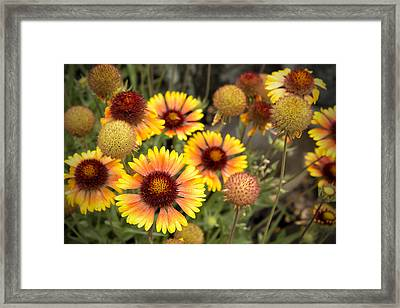 Framed Print featuring the photograph Blanket Flowers  by Belinda Greb