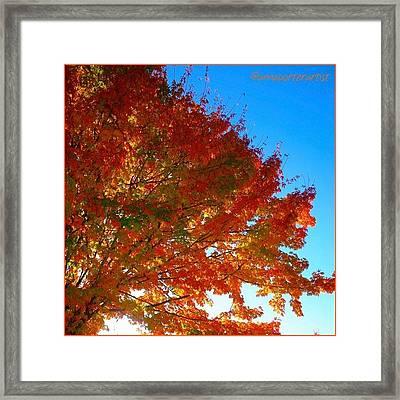 Blazing Orange Maple Tree Framed Print