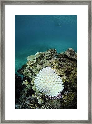 Bleached Coral, Fiji Framed Print