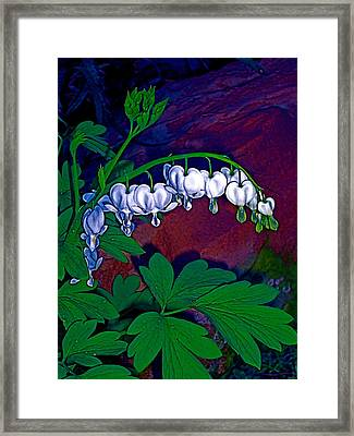 Bleeding Heart 1 Framed Print by Pamela Cooper