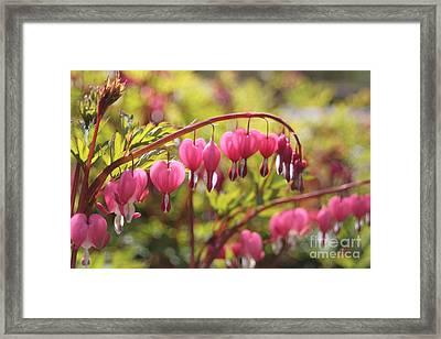 Bleeding Heart Framed Print by Barbara Bardzik