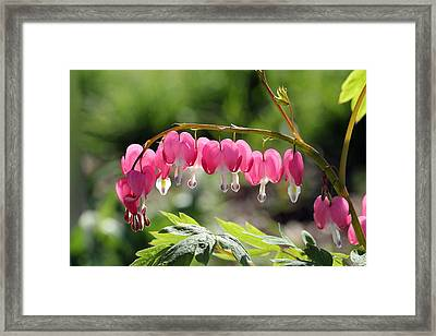 Bleeding Heart Flower Framed Print by James Hammen