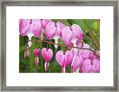 Bleeding Heart Flowers Framed Print