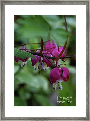 Framed Print featuring the photograph Bleeding Heart by Linda Shafer