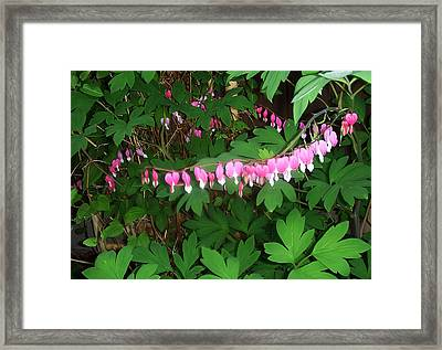 Bleeding Hearts Framed Print by Aimee L Maher Photography and Art Visit ALMGallerydotcom