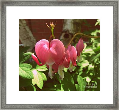 Bleeding Hearts Framed Print by Christy Beal
