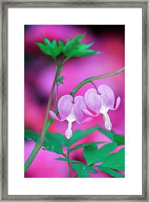 Bleeding Hearts Connecting In Garden Framed Print