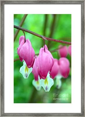 Bleeding Hearts Flowers Framed Print by Edward Fielding