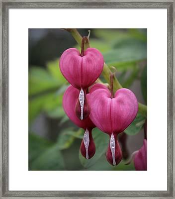 Bleeding Hearts Framed Print by Joseph Skompski