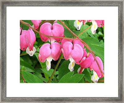 Bleeding Hearts On Parade Framed Print