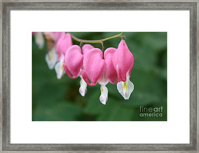 Bleeding Hearts Framed Print by Paul Cammarata