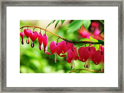 Romantic Bleeding Hearts Framed Print by Debbie Oppermann
