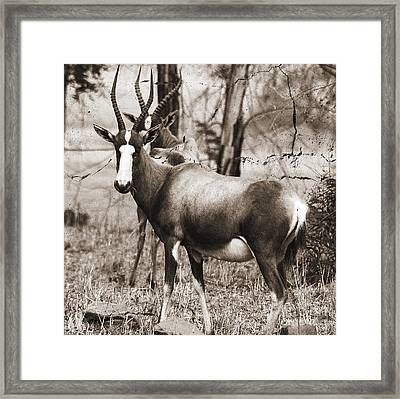 Blesbuck Framed Print by Jacques Pierre Niemandt