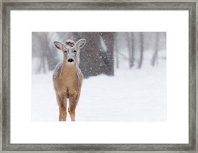 Blizzard Deer Framed Print by Chris Hurst