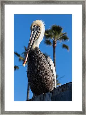 Blond Pelican Framed Print