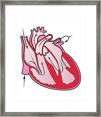 Blood Flow In The Heart Framed Print
