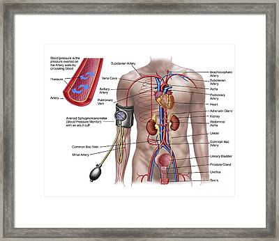 Blood Pressure And Circulatory System Framed Print by Stocktrek Images