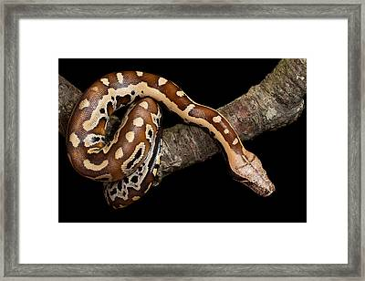 Blood Python Python Brongersmai Framed Print by David Kenny
