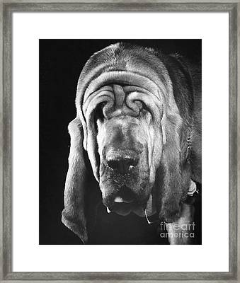 Bloodhound Portrait Framed Print by ME Browning