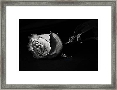 Bloodless Rose Framed Print