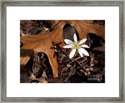 Bloodroot On Forest Floor - Pennsylvania Framed Print by Anna Lisa Yoder