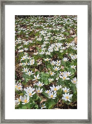 Bloodroot Wildflower Colony Framed Print by John Burk