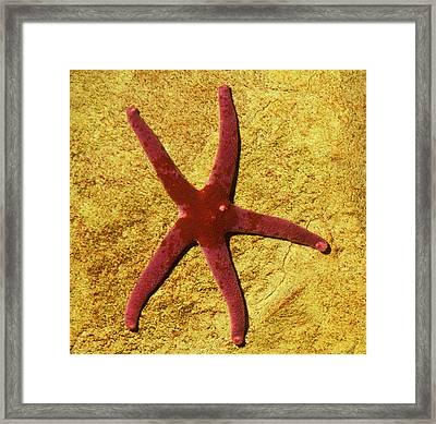 Bloody Henry Sea Star Framed Print by Nigel Downer