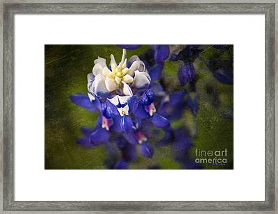 Bloomin' Bluebonnet Framed Print by Amanda Collins