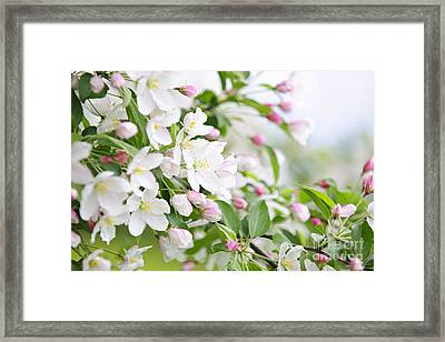 Blooming Apple Tree Framed Print