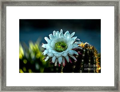 Blooming Argentine Giant Framed Print by Robert Bales