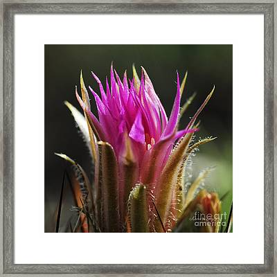 Blooming Barrel Cactus Framed Print