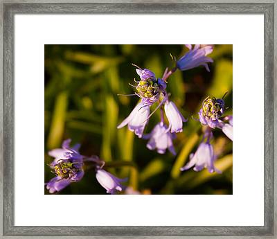 Framed Print featuring the photograph Blooming Bluebells by Joe Winkler