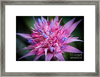Blooming Bromeliad Framed Print by John Wadleigh