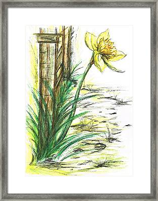 Blooming Daffodil Framed Print
