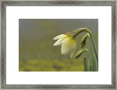 Blooming Daffodils Framed Print by Ron Roberts