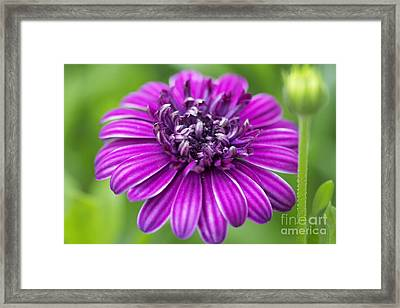 Blooming Daisy Framed Print by Pamela Gail Torres